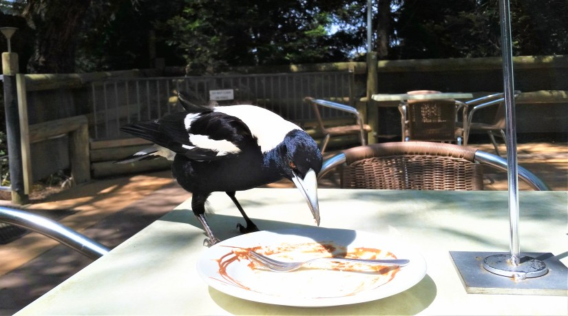 Cheesecake And A Hungry Magpie