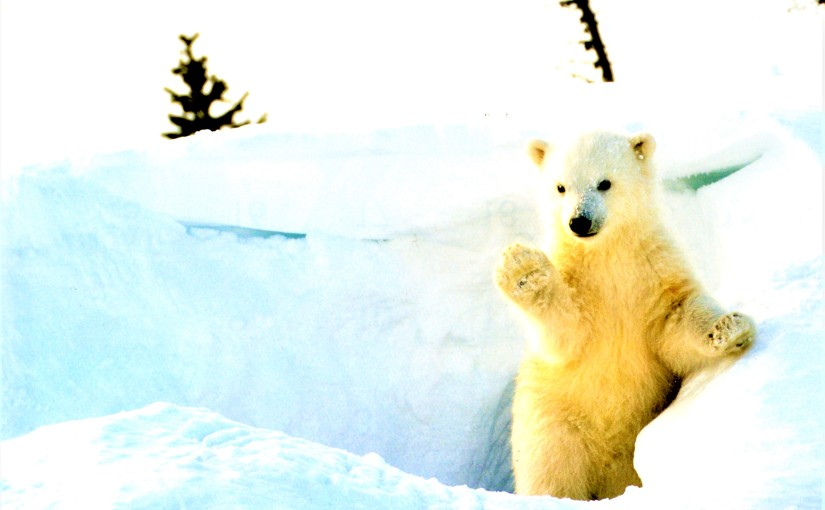 Polar Bears and ColdSheep