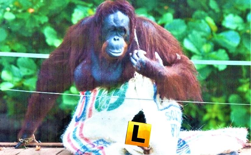 Primates Wearing Bibs andL-plates