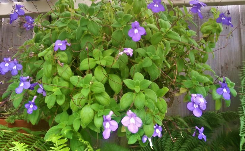 Violets and a PurpleCyclamen